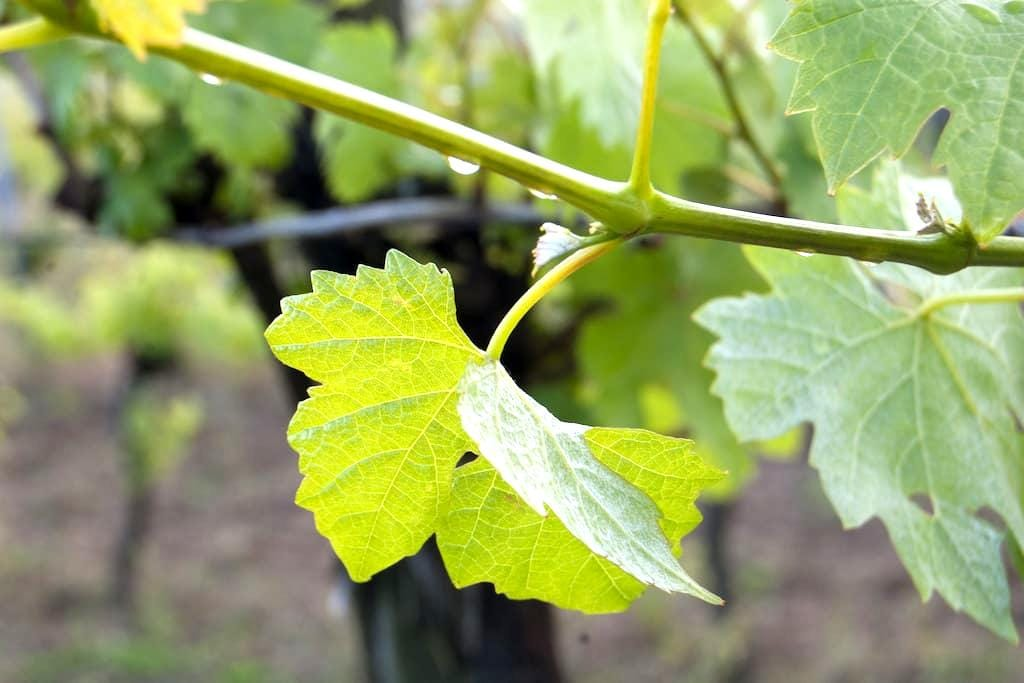 Living on the winery - Sankt Georgen am Leithagebirge - Guesthouse
