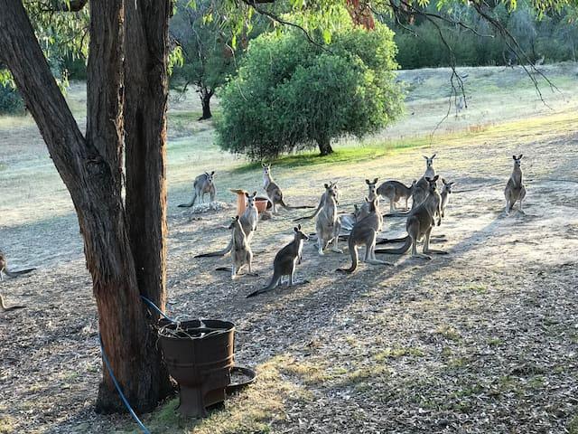Tallarook kangaroo sanctuary - Tallarook